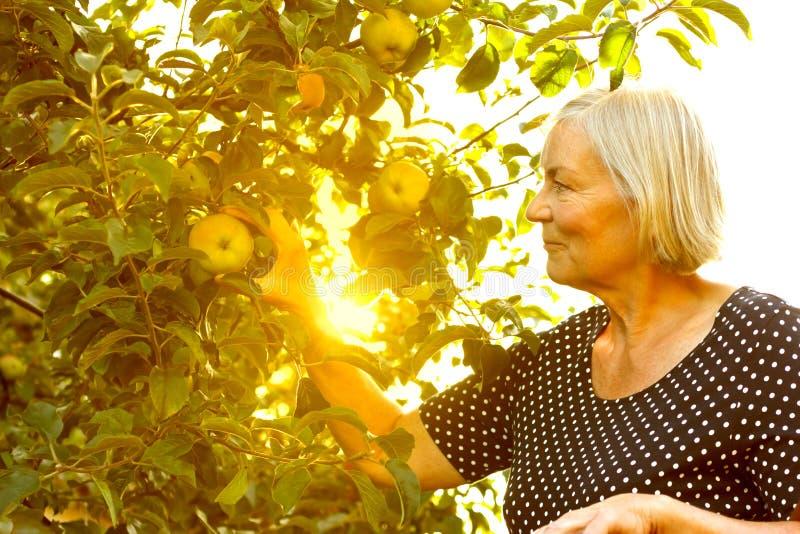 资深妇女采摘苹果太阳 免版税图库摄影