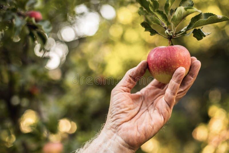 资深男性手摘红色苹果 免版税库存图片