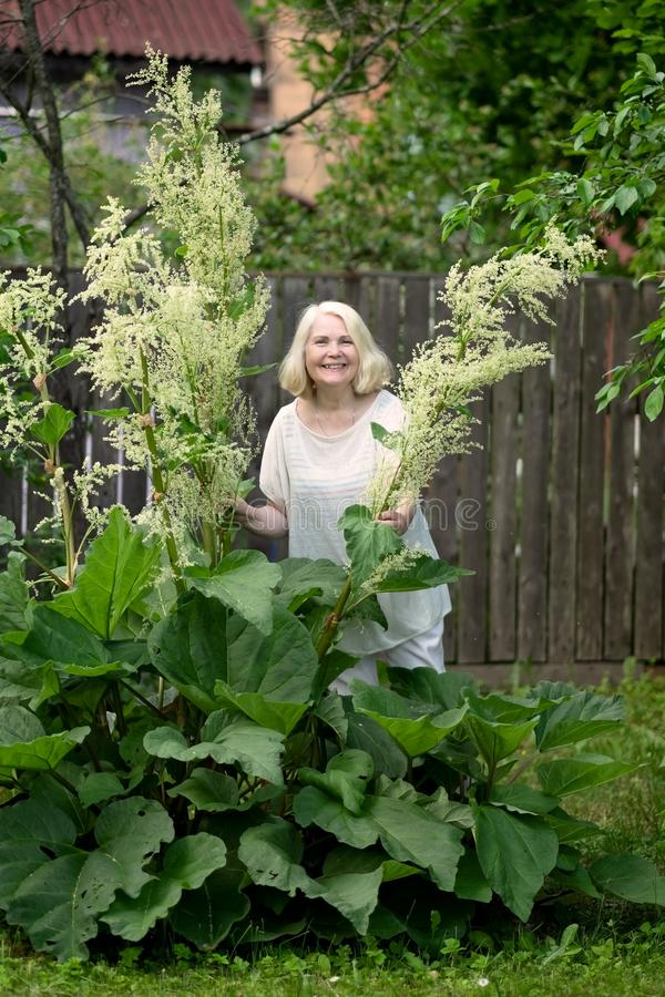 资深白肤金发的妇女在庭院收获大黄 免版税库存照片