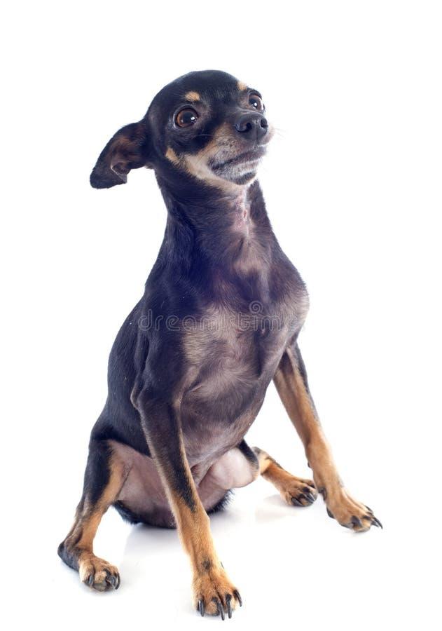 资深微型短毛猎犬 免版税库存照片