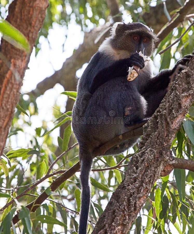 赛克斯`猴子在嚼的树坐一块木头 库存照片