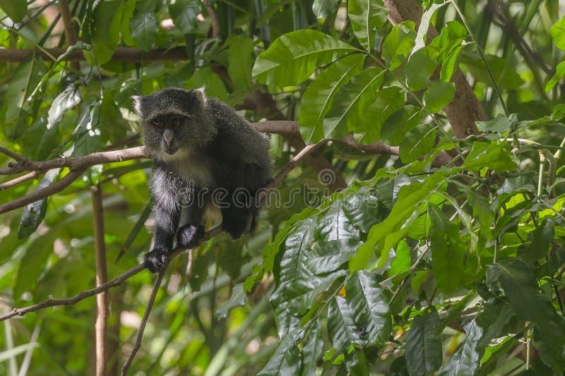 赛克斯`猴子在坦桑尼亚 库存图片