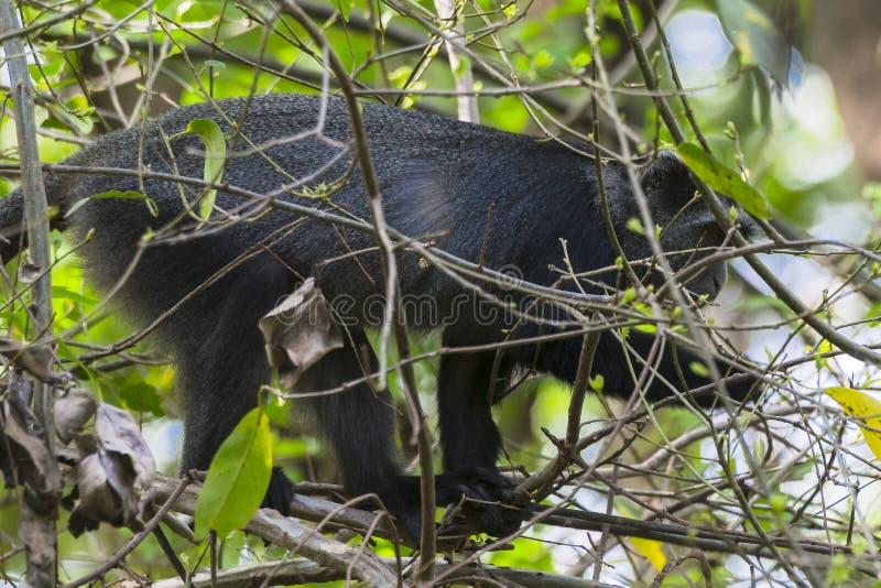 赛克斯`猴子在坦桑尼亚 免版税库存图片
