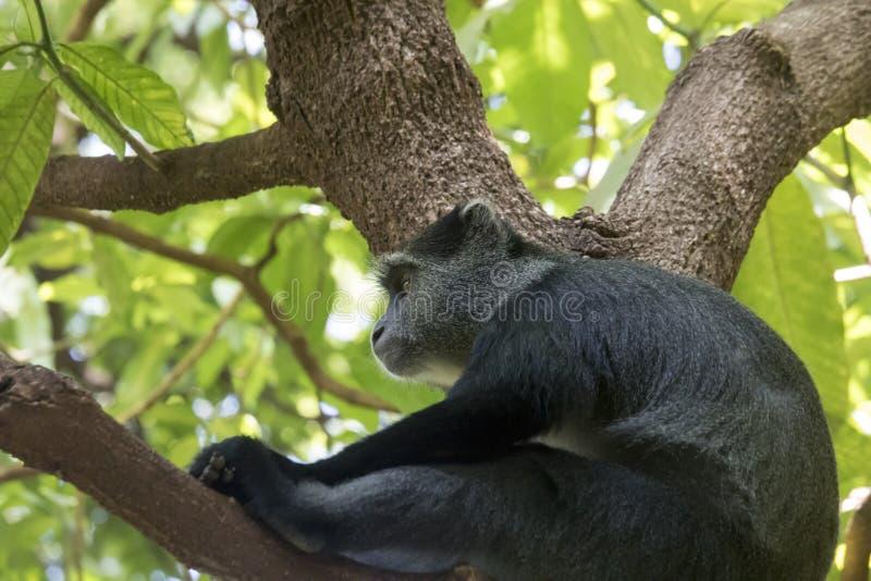 赛克斯猴子,曼雅拉湖国家公园,坦桑尼亚 免版税库存照片