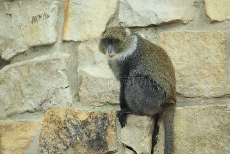 赛克斯猴子 库存图片