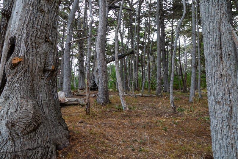 赛普里斯树丛树 免版税库存图片