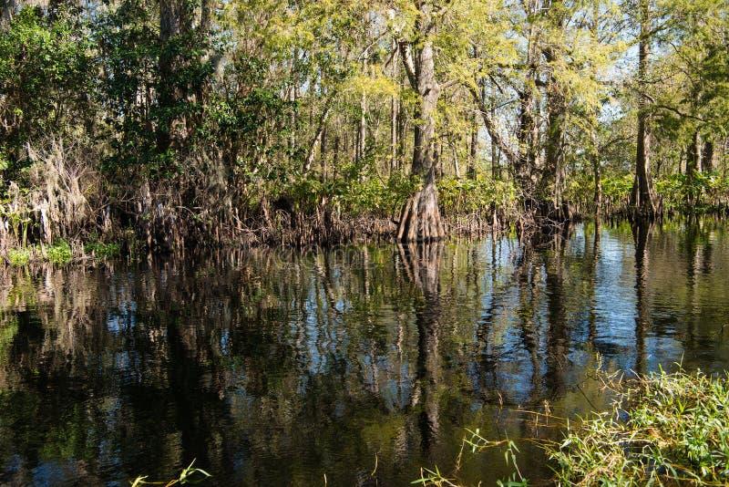 赛普里斯沼泽在佛罗里达 库存图片