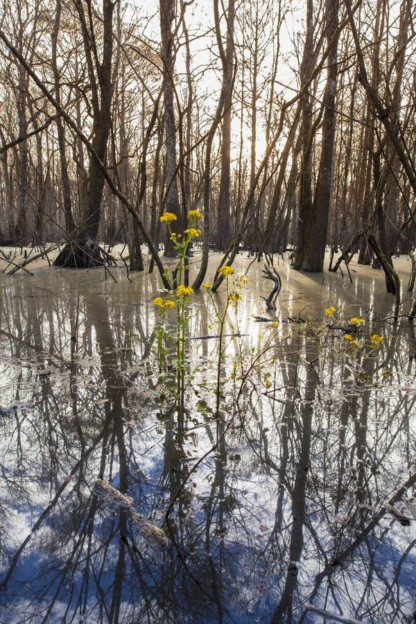 赛普里斯沼泽在佛罗里达 免版税库存图片