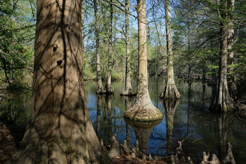 赛普里斯沼泽在南卡罗来纳,美国 图库摄影