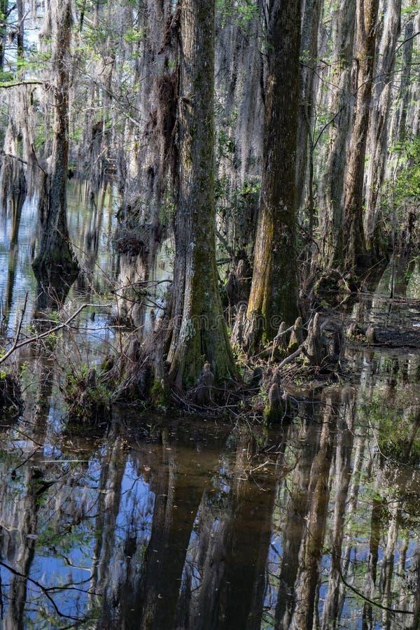 赛普里斯沼泽在南卡罗来纳,美国 库存图片