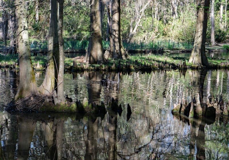 赛普里斯沼泽在南卡罗来纳,美国 库存照片