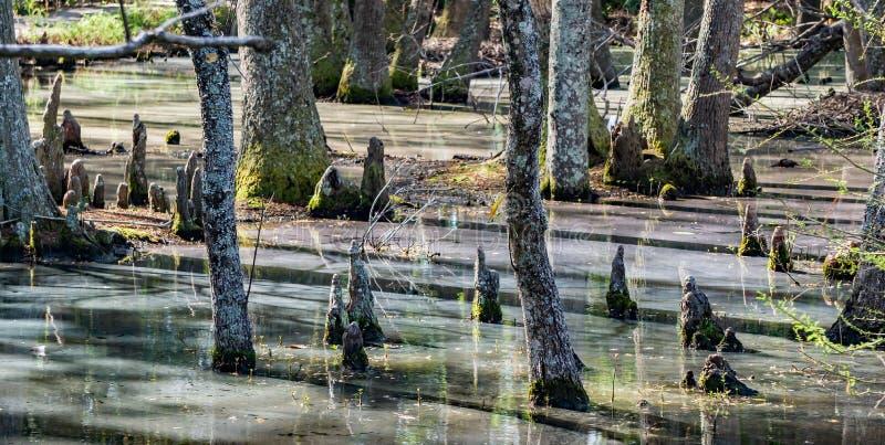 赛普里斯头沼泽在南卡罗来纳,美国 库存图片