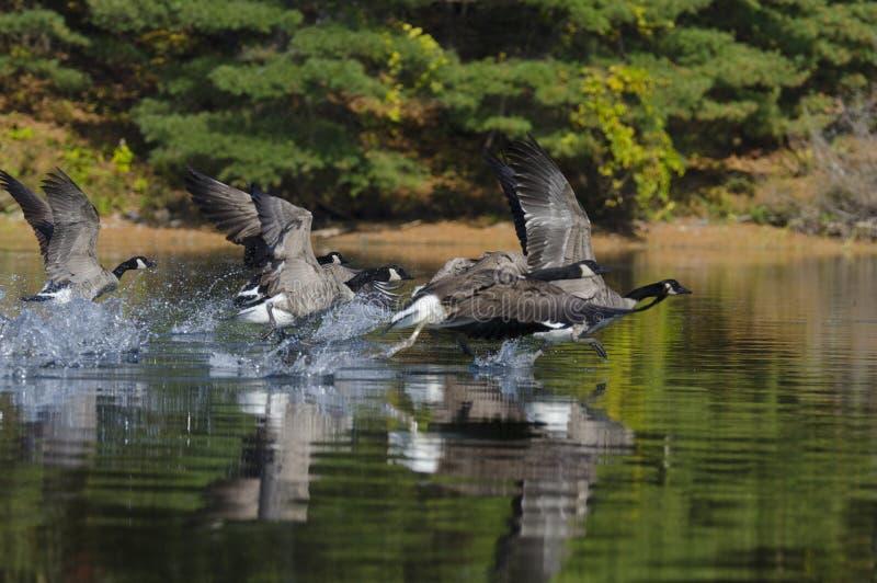 赛跑在湖间的鹅 库存图片