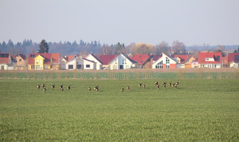 赛跑狍牧群  图库摄影
