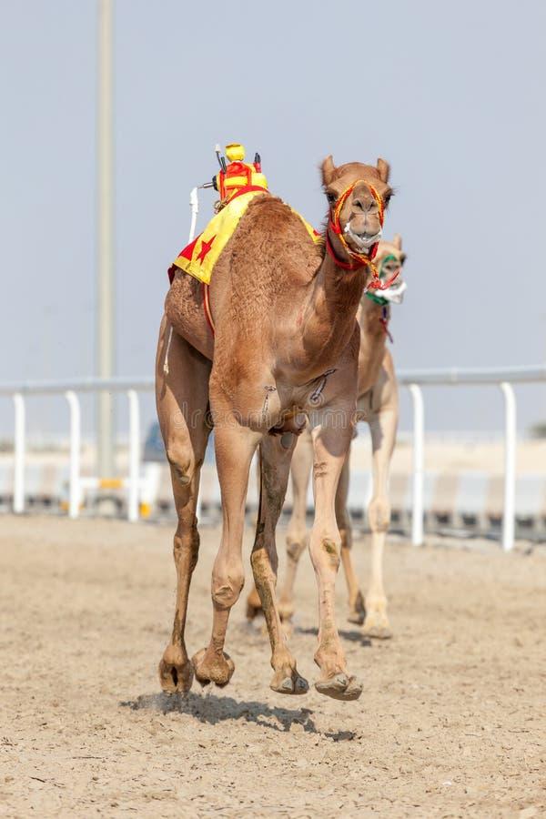 赛跑骆驼在卡塔尔 库存图片