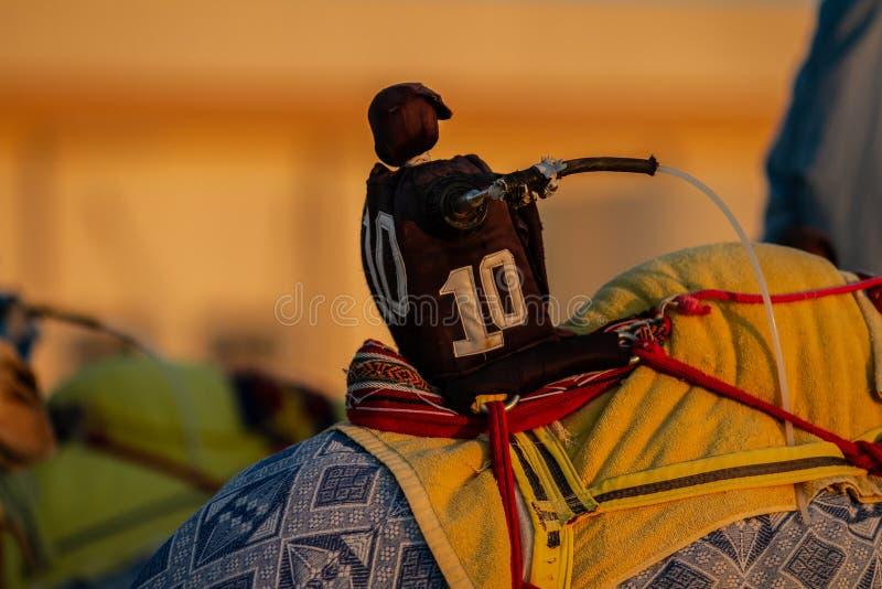 赛跑骆驼的机器人在阿布扎比 免版税图库摄影