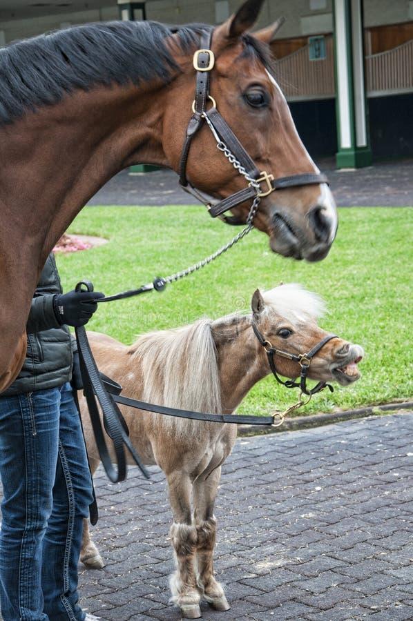 赛马和舍特兰群岛小马在丘吉尔Downs 库存图片
