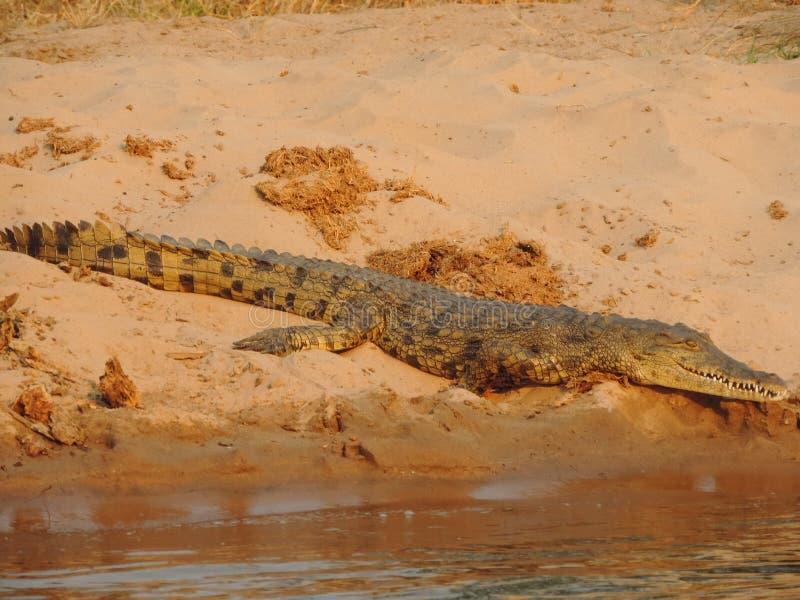 赞比西河鳄鱼 库存图片