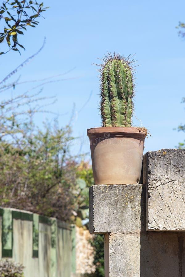 赤土陶器罐的仙人掌植物 免版税库存图片