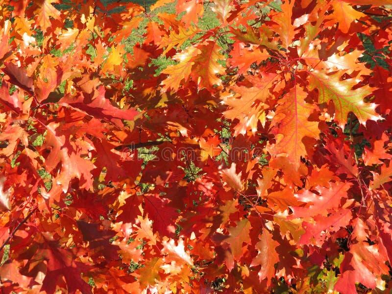 赤栎与叶子的树枝,立陶宛 库存图片