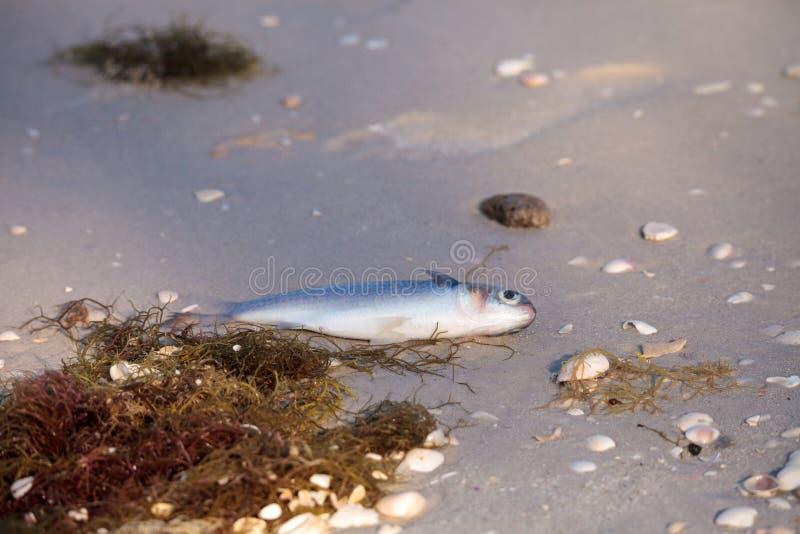 赤潮造成鱼洗涤死者 库存图片