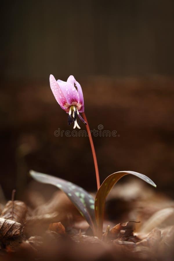 赤莲小室犬属 它是在欧洲增长类赤莲的唯一的种类 库存照片