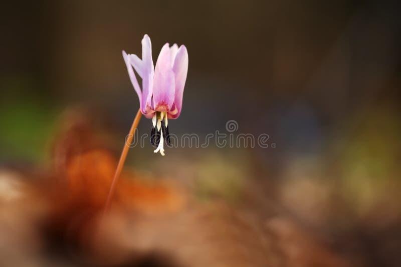 赤莲小室犬属 它是在欧洲增长类赤莲的唯一的种类 免版税库存照片