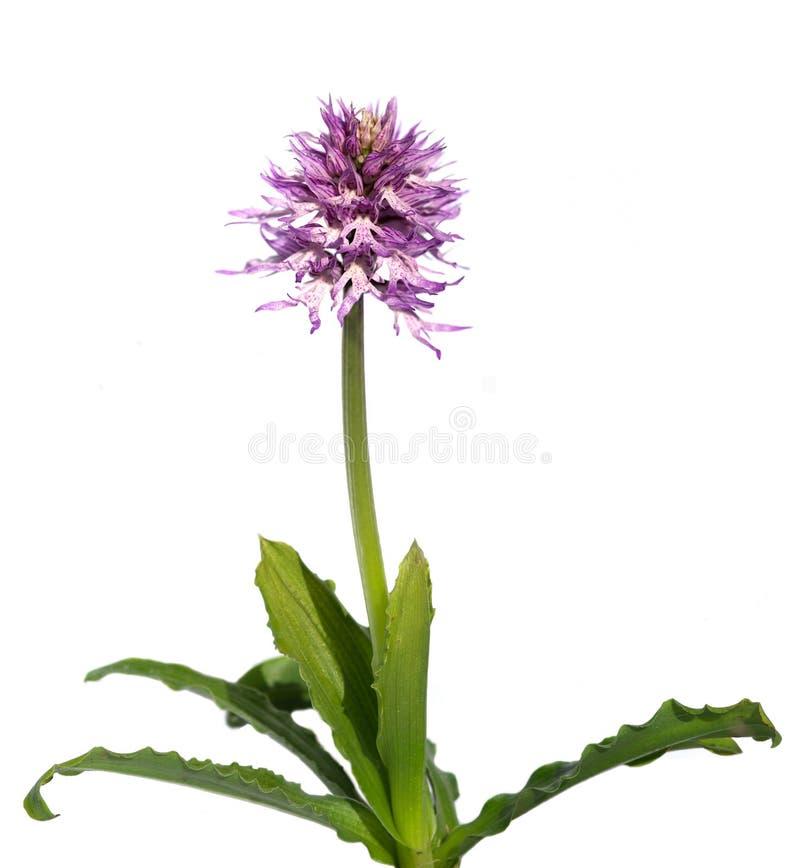 赤裸人兰花植物被隔绝在白的Orchis italica 免版税库存图片
