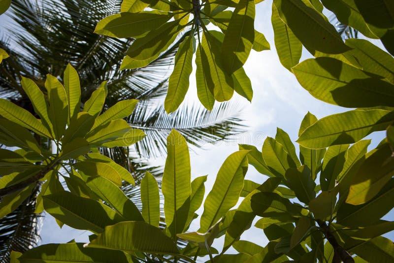 赤素馨花反对蓝天的树枝 库存图片