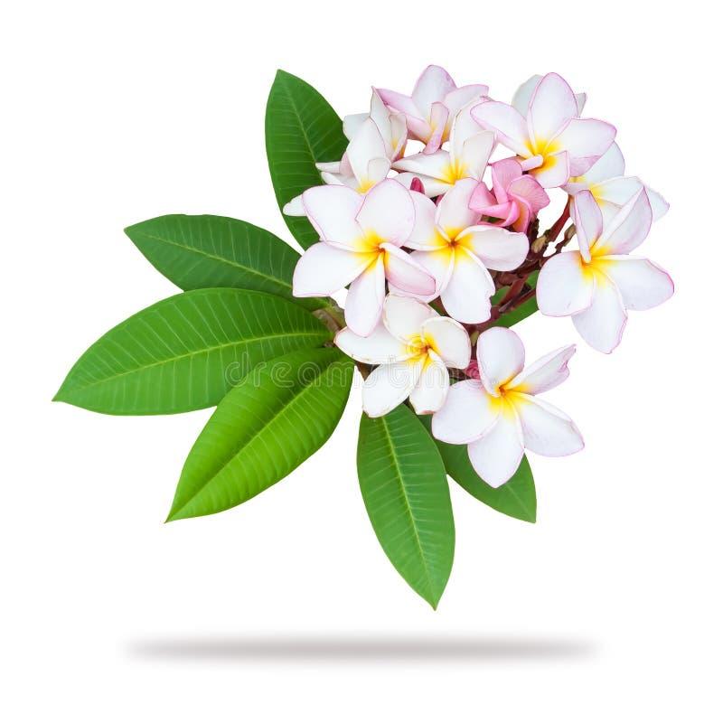赤素馨花在白色背景隔绝的羽毛分支 库存照片