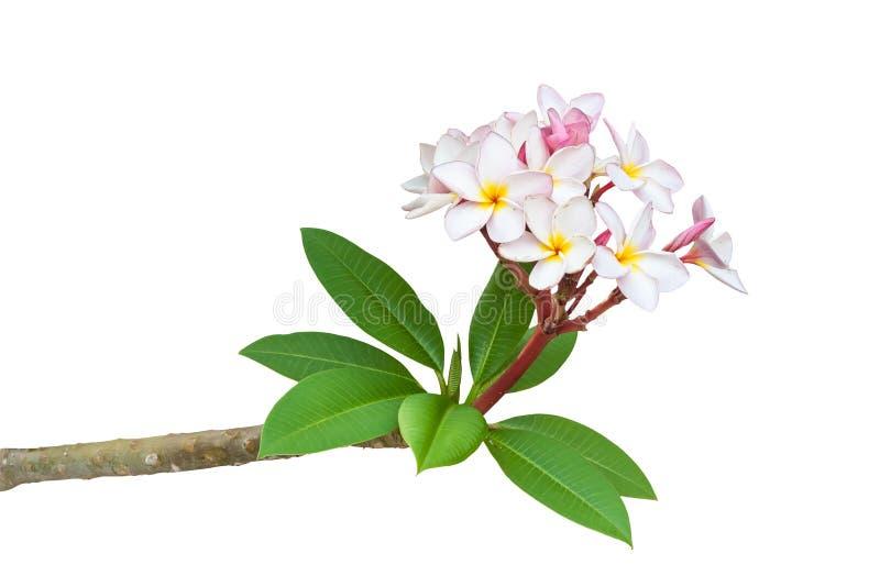 赤素馨花在白色背景隔绝的羽毛分支 库存图片
