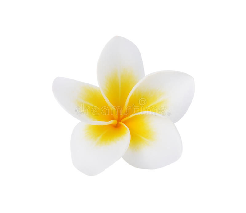 赤素馨花或羽毛花 免版税库存照片