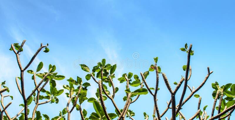 赤素馨花树和天空 免版税库存图片