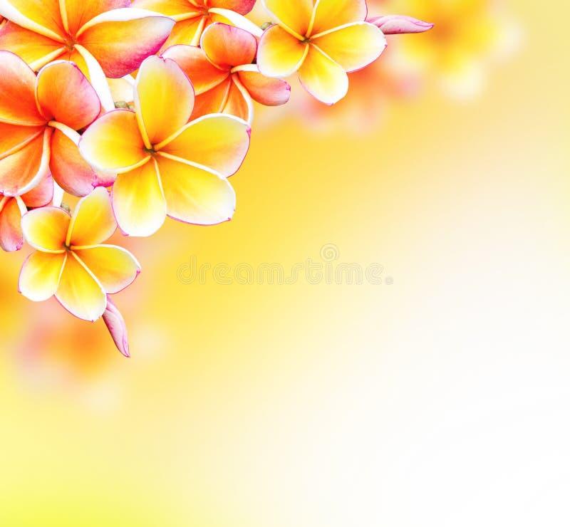 赤素馨花热带温泉花。羽毛边界设计 免版税库存照片