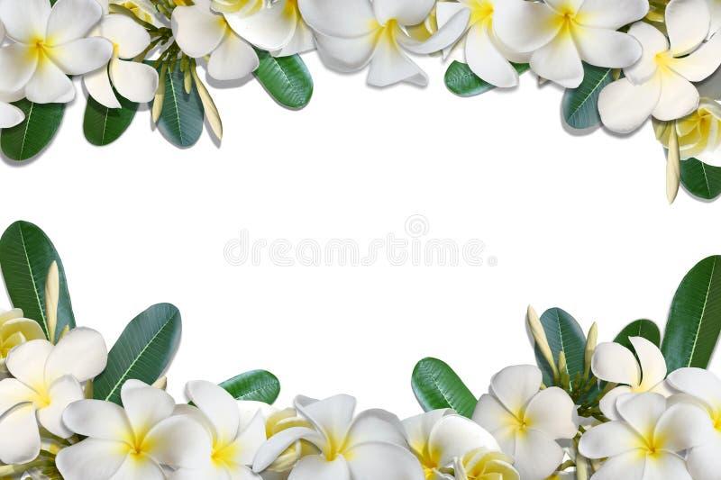 赤素馨花花和叶子框架孤立在白色背景 向量例证