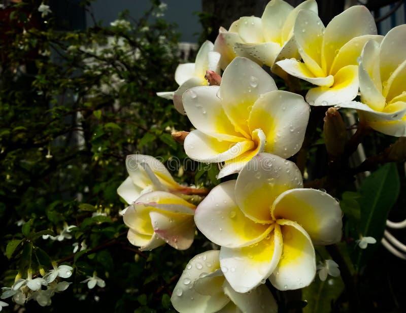 赤素馨花花和水下落 库存照片