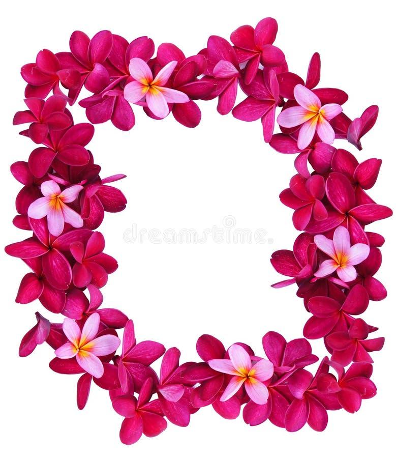 赤素馨花花框架 库存图片