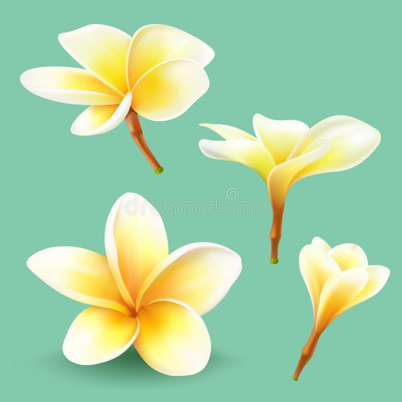 赤素馨花,泰国花汇集 皇族释放例证