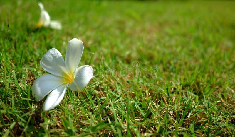 鸡蛋坟_赤素馨花,羽毛,鸡蛋花,坟园树 库存照片. 图片 包括有 火箭筒 ...