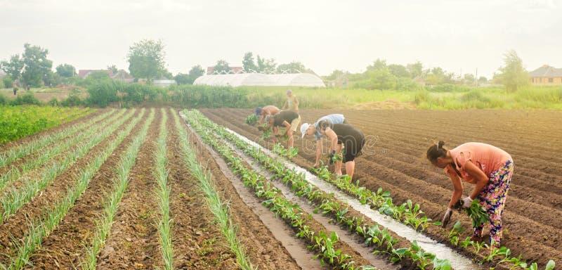 赫尔松州,乌克兰- 2019年6月29日:领域的工作者 种植幼木圆白菜 工农业在第三世界国家,劳方 库存照片
