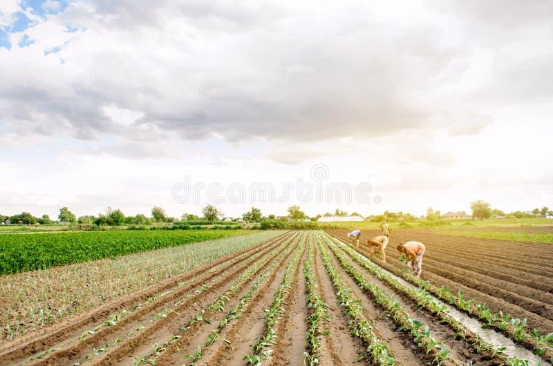 赫尔松州,乌克兰- 2019年6月29日:领域的工作者 种植幼木圆白菜 工农业在第三世界国家,劳方 库存图片