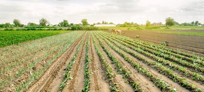 赫尔松州,乌克兰- 2019年6月29日:领域的工作者 种植幼木圆白菜 工农业在第三世界国家,劳方 免版税库存照片