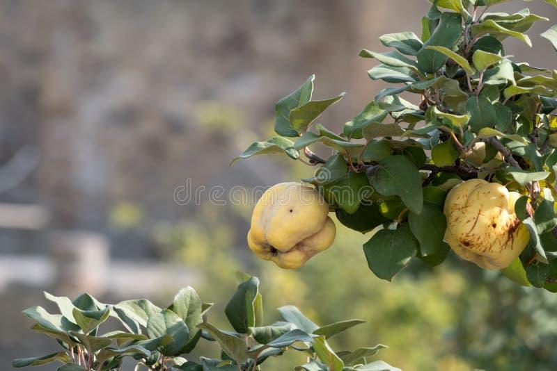 赫库兰尼姆,意大利 有果树的庭院庭院在赫库兰尼姆/埃尔科拉诺罗马镇废墟在那不勒斯,意大利附近 库存照片