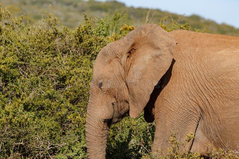 走与他的眼睛的大象关闭了 免版税库存图片