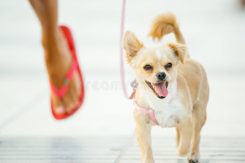 走与在海滩特写镜头的所有者的微型狗 库存照片