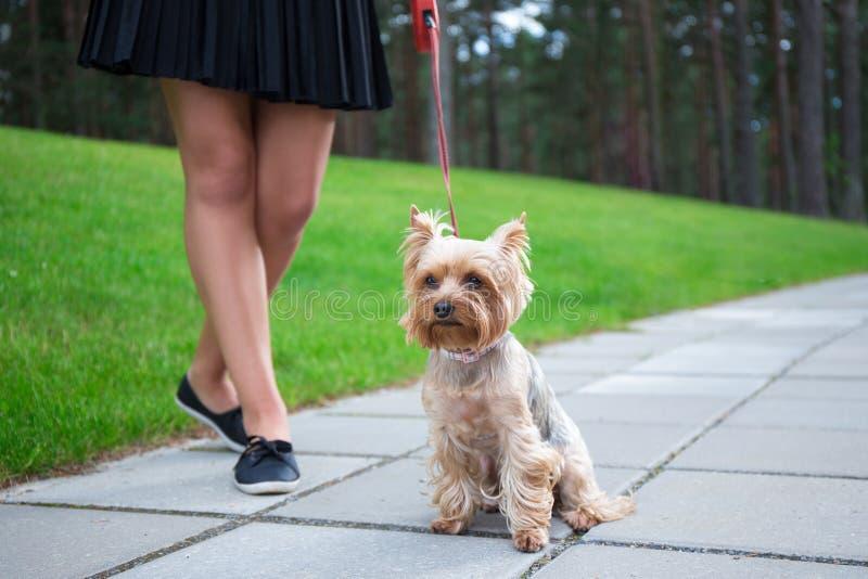 走与狗约克夏狗的女孩在公园 库存照片