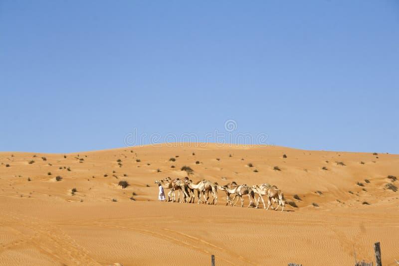 走与骆驼的阿拉伯人在Wahiba沙漠,阿曼 免版税库存照片
