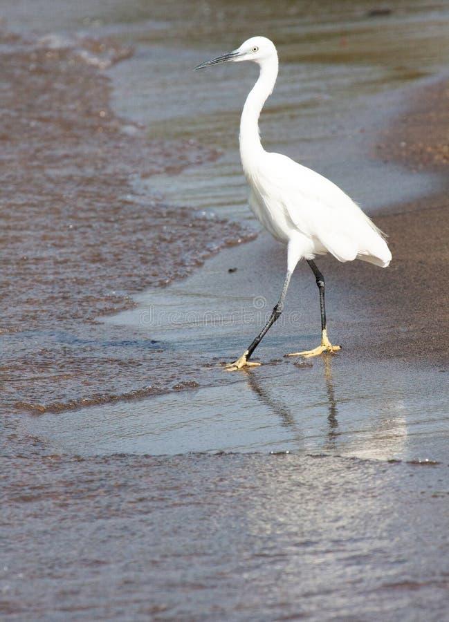 走入水的小白鹭 图库摄影