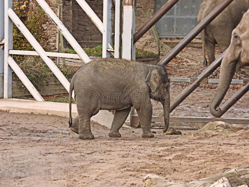 走到它的妈咪的婴孩大象 免版税库存照片
