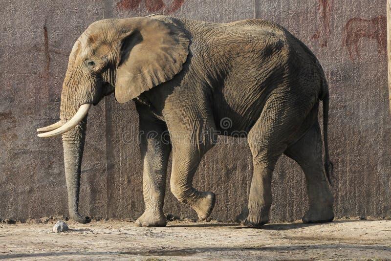 走动在Ouwehands动物园里的大象 库存图片